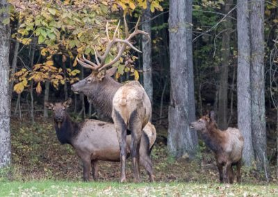 Elk in Elk County, PA